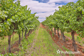 Quality Established Vineyard